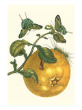 Pomelo Fruit with Urania Moth Prints by Maria Sibylla Merian