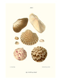 Ark Shells Prints by John Mawe