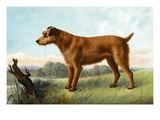 Irish Terrier Posters by Vero Shaw