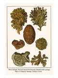 Moss Animal, Narrow Leaved Hornwrack, Breadcrumb Sponge, Pipe or Chimney Sponge, Lettuce Coral Print by Albertus Seba