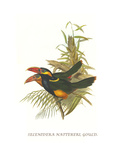 Tawny Tufted Toucanet Prints by John Gould