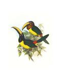 Lettered Aracari Print by John Gould