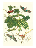 Grapevine with Vine Sphinx Prints by Maria Sibylla Merian