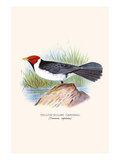 Yellow Billed Cardinal, Brown Throated or Lesser Cardinal Art by F.w. Frohawk