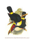 Whie-Throated or Red-Bulled Toucan Affiches par John Gould