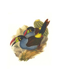 Grey Breasted Mountain Toucan Poster by John Gould
