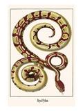 Royal Python Print by Albertus Seba