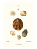 Limpetshell Poster by John Mawe