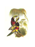 Red Necked or Double Collared Aracari Prints by John Gould