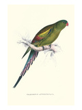 Black Tailed Parakeet(Female) - Polypelis Anthopeplus Poster by Edward Lear