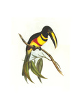 Many-Banded Aricari Posters by John Gould