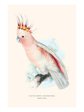 Leadbeater's Cockatoo - Cocatua Leadbeateri Poster von Edward Lear