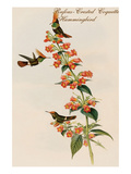 Rufous-Crested Coquette Hummingbird Art by John Gould
