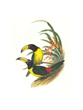 Lettered Aracari Poster by John Gould