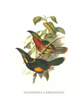 Langsdorf's Toucanet Posters by John Gould