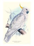 Greater Sulpher-Crested Cuckatoo - Cacatua Galerita Poster von Edward Lear