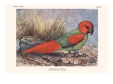 Necripsittacus Borbonicus Prints by Lionel Walter Rothschild