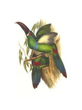 Crimson Rumped Toucanet Art by John Gould