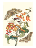 Giant Silk Moth on a Purple Coral Tree Premium Giclee Print by Maria Sibylla Merian