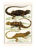 Iguanas Print by Albertus Seba