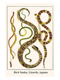 Bird Snake, Lizards, Agama Prints by Albertus Seba