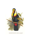 Inca or White Throated Toucan Print by John Gould