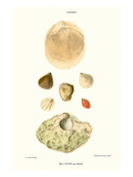 Lamp Shells Prints by John Mawe