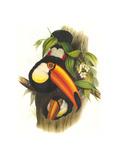 Toco Toucan Affiches par John Gould