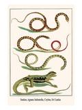 Snakes, Agama Indonedia, Ceylon, Sri Lanka Prints by Albertus Seba