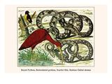 Royal Python, Reticulated Python, Scarlet Ibis, Rufous-Tailed Shama Prints by Albertus Seba