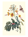 Pride of Barbados with a Tobacco Hornworm Prints by Maria Sibylla Merian