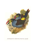 Grey Breasted Mountain Toucan Affiches par John Gould