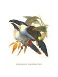 Blsck Billed Mountain Toucan Posters by John Gould