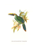 Wagler's Toucanet Poster by John Gould