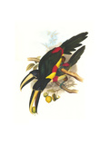 Black-Necked Aracari Posters by John Gould