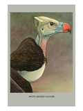 White Headed Vulture Posters by Louis Agassiz Fuertes