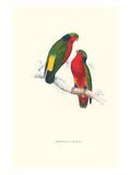 Kuhl's Parakeet - Vini Kuhli Poster von Edward Lear