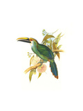 Wagler's Toucanet Prints by John Gould