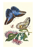 Cardinal&#39;s Guard Butterfly with Idomeneus Giant Owl Butterfly Prints by Maria Sibylla Merian