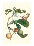 Coffee Tree Leaf with a Glaucolaus Kite Swallowtail Butterfly Posters by Maria Sibylla Merian