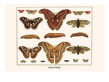 Atlas Moth Prints by Albertus Seba