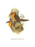 Saffron Toucanet Print by John Gould