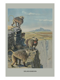 Gelada Baboon Posters by Louis Agassiz Fuertes