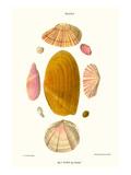 Tellina Shells Posters by John Mawe