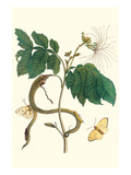 Ice Cream Bean with Apricot Sulphur Butterfly Print by Maria Sibylla Merian