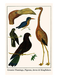 Greater Flamingo, Pigeons, Doves and Kingfishers Prints by Albertus Seba