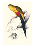 Black Tailed Parakeet(Male) - Polypelis Anthopeplus Prints by Edward Lear