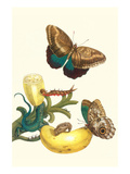 Banana Plant with Teucer Giant Owl Butterfly and a Rainbow Whiptail Lizard Prints by Maria Sibylla Merian