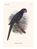 Anadorhynchus Purpurascens Posters by Lionel Walter Rothschild