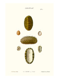 Chiton Shells Prints by John Mawe